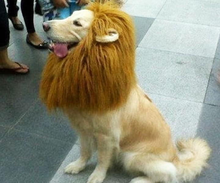Haustier Löwenmähne