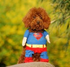 Haustier Superman Kostüm